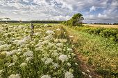 Wildflowers know as Queen Anne's Lace, growing along a farm road in rural Prince Edward Island, Cana