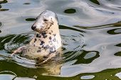 Harbour Seal (phoca Vitulina) Pokes His Head Out Of The Water