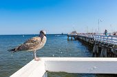Close-up Of A Seagull In Sopot Pier, Gdansk With The Baltic Sea In The Background