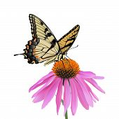 Swallowtail Butterfly and Coneflower