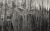 symmetry and contrast in reeds with Lilly pads B &  W