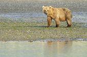 Grizzly Bear ( Urus arctos horribilis)