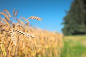 Close up of ripe wheat ears. Selective focus.