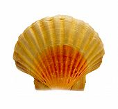 foto of scallop-shell  - the sea scallops shell  on the white background - JPG