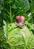 Snail Is Sitting On Cabbage In The Garden