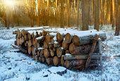 pine logs under snow in forest