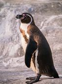 Side view of Humboldt penguin