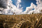 Ripe Grain
