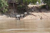 Champasak Loas-november 22 :water Buffalo Local Cattle Standing On Mekong River Bank In Champasak Di