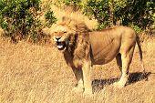 Masai Mara Lion