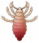 A head louse