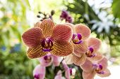 Orchid ( Phalaenopsis ) In The Garden