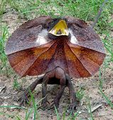 Frilled Neck Lizard