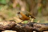 picture of babbler  - beatiful Rusty - JPG