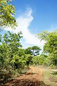 Dirt Road Turning in Brachystegia Woodlands, Kasungu National Park, Malawi