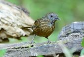 stock photo of babbler  - beautiful Streaked Wren Babbler (Napothera brevicaudata) in Thai forest