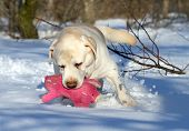 Yellow Labrador In Winter With A Pink Toy