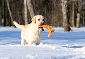 Yellow Labrador In Winter In Snow With A Toy Close Up