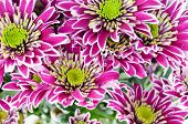 pink and white chrysanthemums