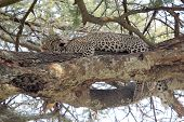 Leopard Grooming On A Tree
