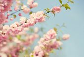 Branch with beautiful pink flowers against the blue sky. Amygdalus triloba. very shallow depth of field. Toned image