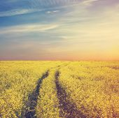 beautiful sky and yellow rapeseed field, retro film filtered, instagram style