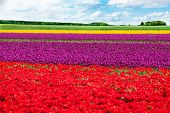 Colorful tulip field rows during sunny day