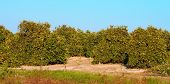 picture of florida-orange  - Panoramic view of Florida orange groves in evening sunlight.