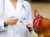 stock photo of roosters  - Close up of rooster waiting for vaccine from veterinarian - JPG