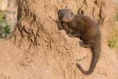 picture of dwarf  - Dwarf mongoose family enjoy the safety of their burrow - JPG