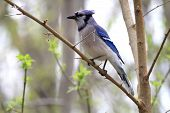 picture of blue jay  - Blue - JPG