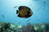 stock photo of angelfish  - A French Angelfish swims over the reef at Key Largo Florida  - JPG