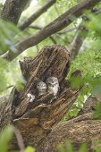 stock photo of tourist-spot  - Birds Spotted Owlet Beautiful in nest and perching - JPG