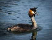 Great Crested Grebe On Lake Prespa, Greece poster