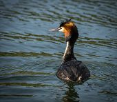 picture of grebe  - Image of Great Crested Grebe on Lake Prespa Greece - JPG