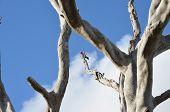 stock photo of eucalyptus trees  - rosella bird on dead eucalyptus tree on a blue sky - JPG