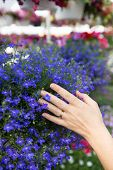 foto of flower pot  - Woman choosing flowers in a nursery gently placing her hand on a colorful display of blue potted flowers as she seeks to beautify her house in the new spring season close up of her hand - JPG