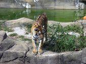 Постер, плакат: Siberian Tiger
