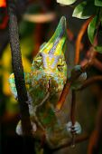 stock photo of chameleon  - Funny Chameleon is sitting on a branch in a wild nature and staring at different directions and at you at the same time - JPG