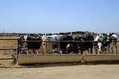 pic of dairy cattle  - A Central California feed lot is a temporary home to hundreds of cattle - JPG