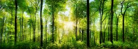 stock photo of illuminated  - Panorama of a scenic forest of fresh green deciduous trees with the sun casting its rays of light through the foliage - JPG