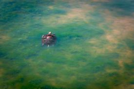 foto of algae  - A painted turtle swims in the shallow water with algae in The John Heinz National Wildlife Refuge at Tinicum Pennsylvania. ** Note: Visible grain at 100%, best at smaller sizes - JPG