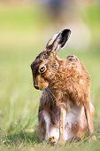 A European Hare