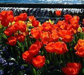 Nava Tulips