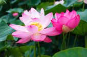 Lotus rare flower. Symbol of purity. poster