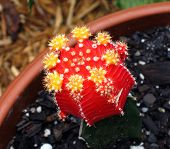 Moon Cactus Bloom