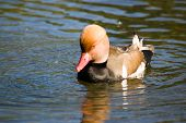 Red Crested Pochard Duck