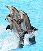 pic of bottlenose dolphin  - A group of bottlenose dolphins performing a tail stand - JPG