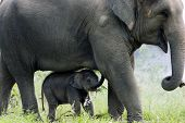 foto of calf  - Mother elephant and her calf are walking together - JPG
