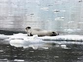Seal On Ice Floes